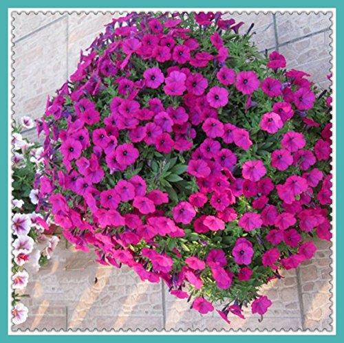 Green Gardens Rare Heirloom Jolies 50 Semi-Trailing Petunia Garden Seeds Pour Voir Décore G004