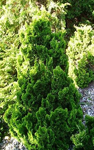 Zwergzypresse - Chamaecyparis obtusa `Draht´ - 60-70cm im 3 Ltr. Topf