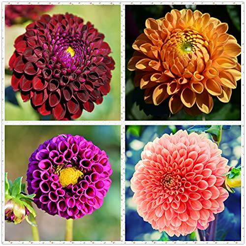 Bulbos De Dalia Están Disponibles Para La Venta,Como Jade Y Flores,Flores Suaves,Flores Erguidas-5 Bulbos,B