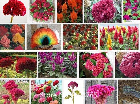 Promotion 500 Graines Cockscomb (Celosia) - mélange de couleurs, bricolage jardin graines de fleurs plante, couleur vive, des semences Novel