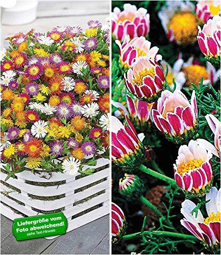 BALDUR-Garten Blühende-Bodendecker-Kollektion, 7 Pflanzen, 5 Pflanzen Eisblumen Delosperma und 2 Pflanzen Ringkörbchen Anacyclus depressus
