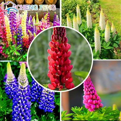 Pack x6 Lupin Russell Hybrides Mixte jardin vivace PLUG plantes