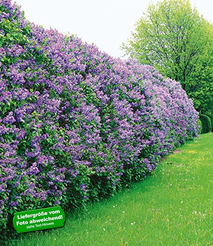 BALDUR-Garten Flieder-Hecke,1 Pflanze, Edelflieder Fliedertraum Blüten-Hecke, Syringa vulgaris