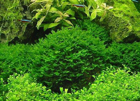 WFW wasserflora Großes Teichlebermoos auf Lavastein/Monosolenium tenerum