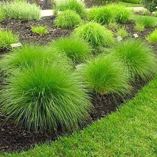 Civilys Seeds-Colorful Fescue Ornamental Grass Seed Mosquito Repelling Lemon Grass Plant Seeds Flower Bulbs Seeds for Planting
