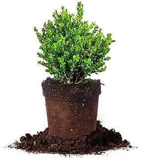 Perfect Plants Wintergreen Boxwood Live Plant, 1 gallon, Includes Care Guide