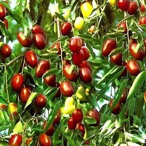ypypiaol 100 Stück Süße Jujube Samen Rot Dattel Obst Pflanze Baum Garten Outdoor Yard Farm Dekor Jujube Samen