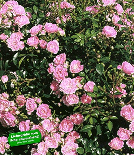 BALDUR-Garten Rosen 'The Fairy', 1 Pflanze Bodendeckerrose