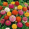 Bornbayb 200 pezzi colore misto semi di zinnia semi di giardino di fiori bellissimi semi di fiori #3