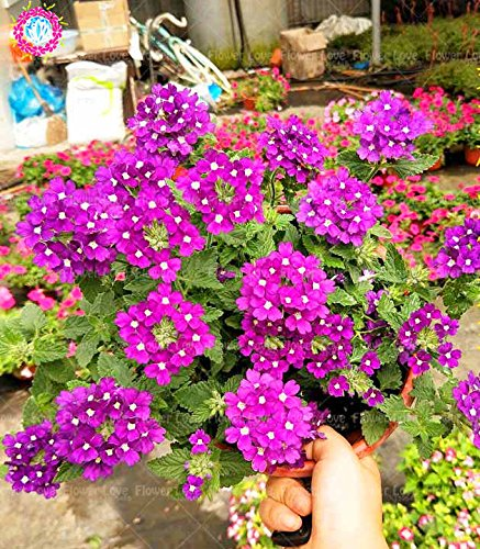 Graines de Purple rares 50pcs Verveine, Verveine HORTENSIS, Verveine Hybrida Rare Bonsai Graines de fleurs Plantes d'intérieur Balcon pour jardin 6