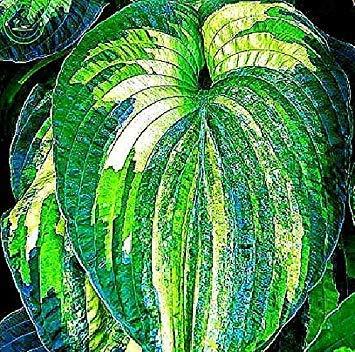 Bonsai Coleus seeds foliage plants perfect color Arc-Dragon Seeds beautiful flower plant garden Semente 30 seeds k42 3