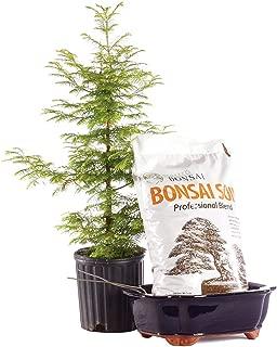 Brussel's Bonsai Live Dawn Redwood Outdoor Bonsai Tree PIY Bundle - 5 Years Old 16