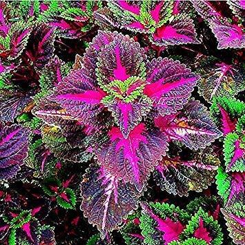 Bonsai Coleus seeds foliage plants perfect color Arc-Dragon Seeds beautiful flower plant garden Semente 30 seeds k42 4