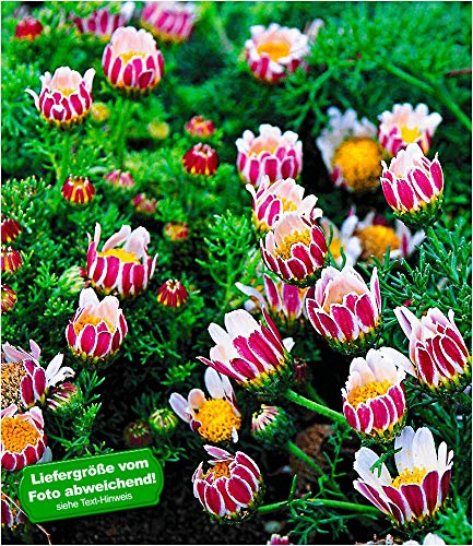 BALDUR-Garten Winterharter Bodendecker Afrikanisches Ringkörbchen, 4 Pflanzen Anacyclus depressus