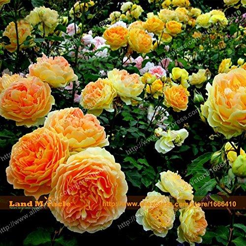L'arbre de l'Ouest « Jaune d'oeuf rose » Pivoine Graines, 10 graines/l'unité, Bonsai fleur de pivoine, Paeonia suffruticosa arbre Graines,