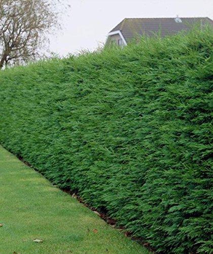 Leylandii Zypresse - Heckenpflanze - Cupressocyparis leylandii - verschiedene Größen (120-140 cm - 4 Ltr.)