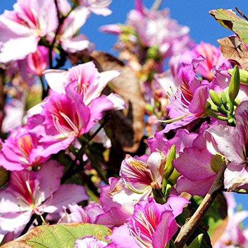 Hong Kong Orchidée Graines d'arbres Bauhinia Blakeana