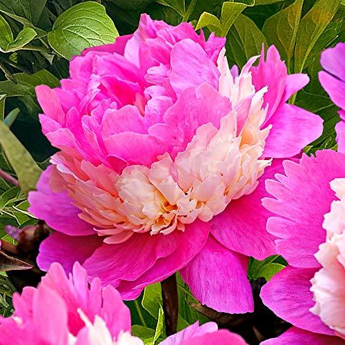 Chinesische Pfingstrose 'Sorbet' 2/3 - äugig - 1 Stück Blumenzwiebeln, Direkt von holländischem Boden