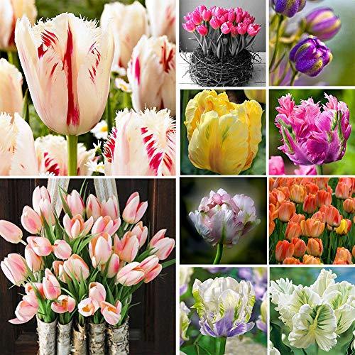 ASTONISH I semi della confezione: Tulip Seed: 100Pcs Rare Arcobaleno fiore del tulipano Bulbi Semi Perenni Seeds moda decorazione