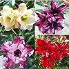 20 Pièces Adenium Obesum Desert Rose Graines Fleur Plante Bonsaï Bureau Jardin Décoration 1# Graines de rose du désert #2