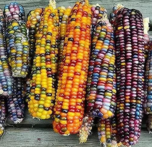 100+ Gem Corn Seeds for Planting