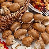 Pilze Züchten Set | Agaricus bisporus var. avellaneus | Champignons braun | Selbst Züchten |...