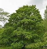 Feldahorn 60-80cm - Acer campestre