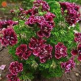 Green Seeds Co. Balcone in vaso rosso e bianco Gerani Fiore in vaso Piante Fai da te Home Garden 20 pezzi/lotto: viola
