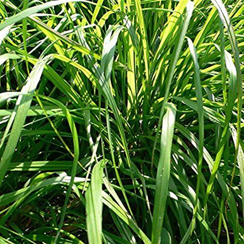 TankMR 1000 stuks citroengras zaden planten, open bestuif, bijen, colibris, vlinders, bestuiver, kantoor tuin decoratie