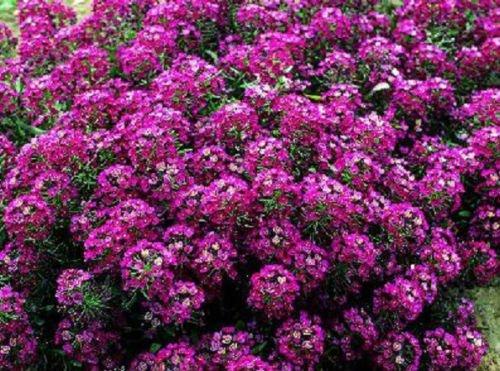 100 Samen von Alyssum Prost Rose Bodendecker