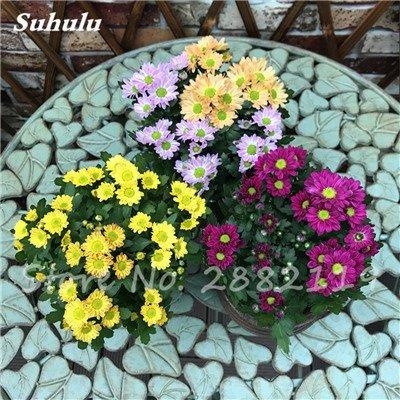 120 pcs graines graines de fleurs Daisy strawberry marguerite, fleurs de saison graines chrysanthème, Bonasi beau balcon fleuri coloré 8