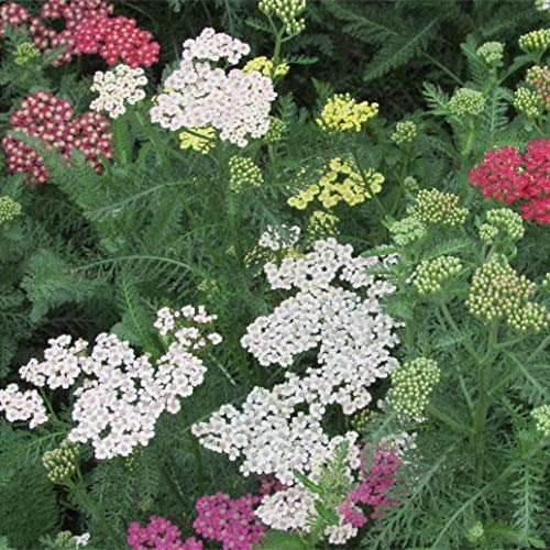 Semi di achillea Semi di Sawgrass Fiori resistenti al freddo Piante piantate autunnali Paesaggio Giardino di fiori Semi 300-500 Semi di achillea