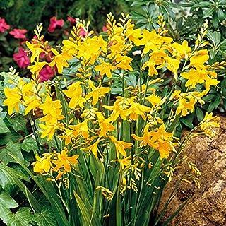 Crocosmia George Davidson,10 Bulbs   Vibrant Yellow,Hummingbird Magnet