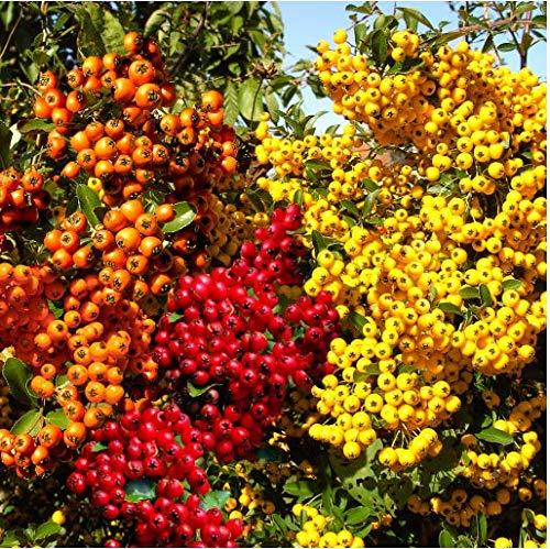 Tomasa Samenhaus- Bunte Feuerdorn-Hecke Samen Zier Feuerdorn winterhart mehrjährige Pyracantha Samen Garten Beeren Pflanzen Saatgut Zierpflanzen