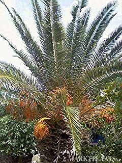 Germination Seeds ONLY NOT Plants: 25 X Phoenix Canariensis, Canary Island Date Palm Seeds; Palmboom Zaden;