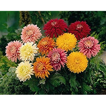 The Best Strategy To Use For How To Grow Chrysanthemum