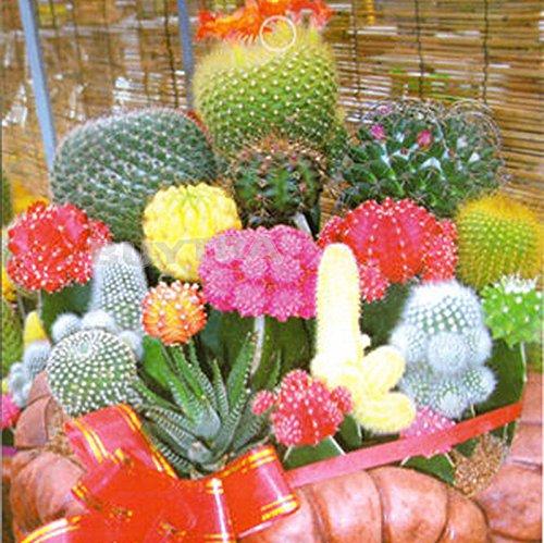 Bestim Incuk Incuk Rare 1 Sac 10 graines de mélange de fleur de cactus
