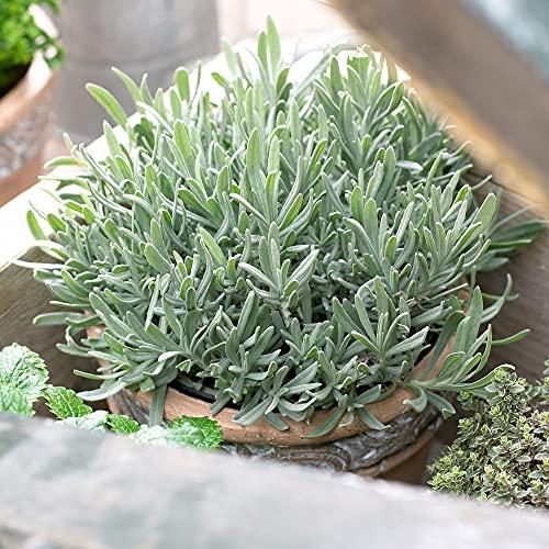 6ST Lavandula Angustifolia   Lavendel Pflanze   Winterharte Stauden   Lieferhöhe 15-20cm   Topf-Ø 7cm