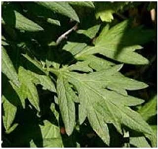 David's Garden Seeds Herb Mugwort SL9186 (Green) 500 Non-GMO, Heirloom, Seeds