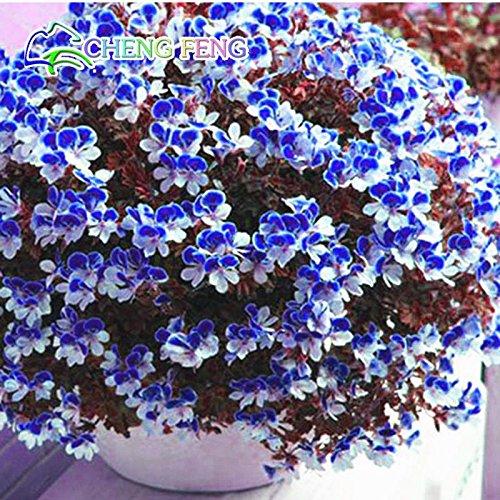 Vente! 20 PCS / Paquet Crimson Pétales de fleurs Géranium Graines, Graines vivace Fleur Pelargonium peltatum Fleurs
