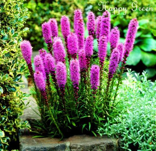 Fresh Seeds - Gayfeather Rosa Lavanda - 300 Semi - Liatris Spicata - Fiore Perenne