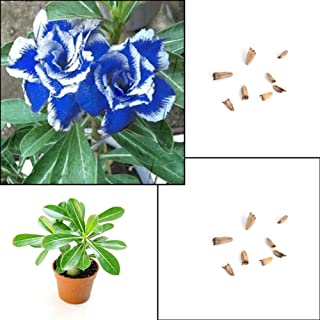 LOadSEcr's Garden 5Pcs Blue with White Side Desert Rose Flower Plant Seeds Non-GMO Ornamental Plants Yard Office Decoration, Open Pollinated Seeds