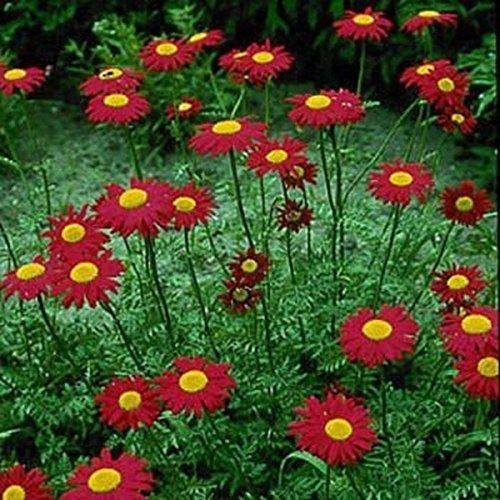 Rouge- 100 Graines de Chrysanthemum- Robinson - 50% de rabais sur la vente