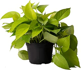 AMERICAN PLANT EXCHANGE Neon Pothos Stunning High Color Live Plant, 6
