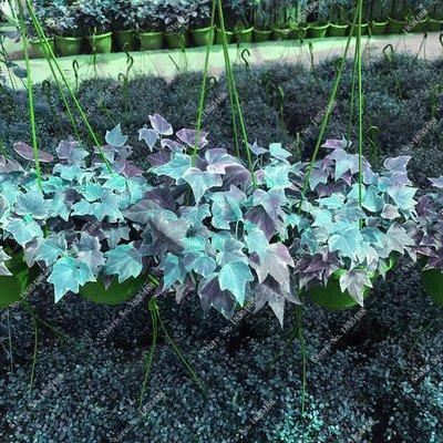 Colorés suspendus Parthenocissus tricuspidata semences vivaces herbes de fleurs Pot plantes anti-radiations des rayons ultraviolets 50 Pcs 11