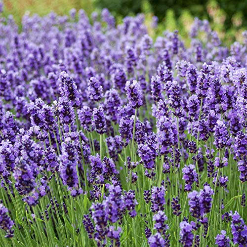 Outsidepride Lavender English Herb Seed - 10000 Seeds