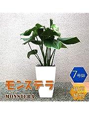 品種で選べる人気の観葉植物!初心者にも育てやすく、リビングやオフィスのインテリアに!【造花ではありません。生きている観葉植物です。大型ですのでギフトラッピングには対応しておりません。※出荷タイミングにより、鉢の形や鉢色が変わる場合があります。商品の特性上、背丈・形・大きさ等、植物には個体差がありますが、同規格のものを送らせて頂いております。また、植物ですので多少の枯れ込みやキズ等がある場合もございます。予めご了承下さい】【即出荷/プライム送料込み価格】