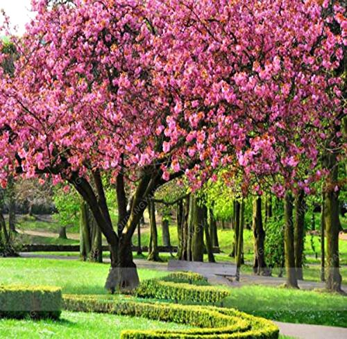 20 Pcs/sac japonais Sakura arbre Graines Bonsai Fleur de fleurs de cerisier Livraison gratuite ornement-Plante vivace Fleurs Green Garden