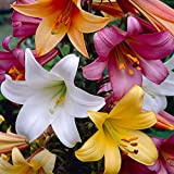 Bloomsz Trumpet Lily Bulbs Collection (8 Pack)