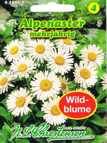 Alpenaster Aster alpinus mehrjährig Staude Wildblumen